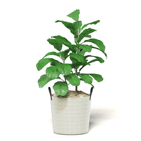 Fig Plant 3D Model in Wicker Basket - 3DOcean Item for Sale