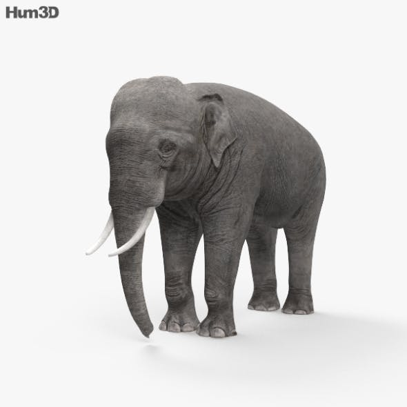 Asian Elephant HD - 3DOcean Item for Sale