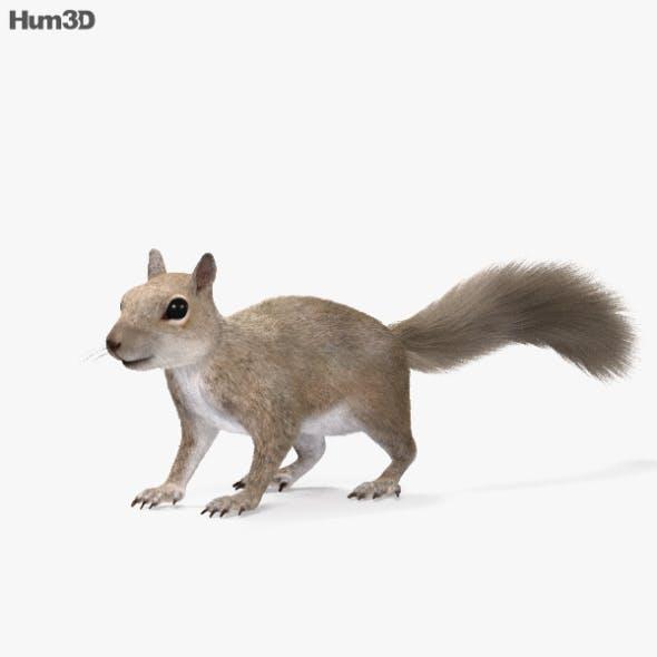Squirrel HD - 3DOcean Item for Sale