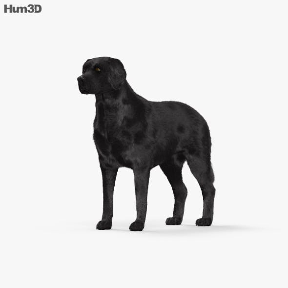 Labrador Retriever Black HD