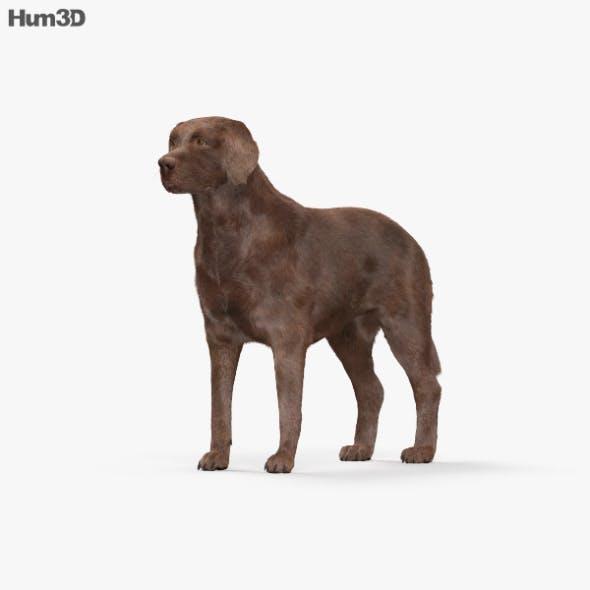 Labrador Retriever Chocolate HD - 3DOcean Item for Sale