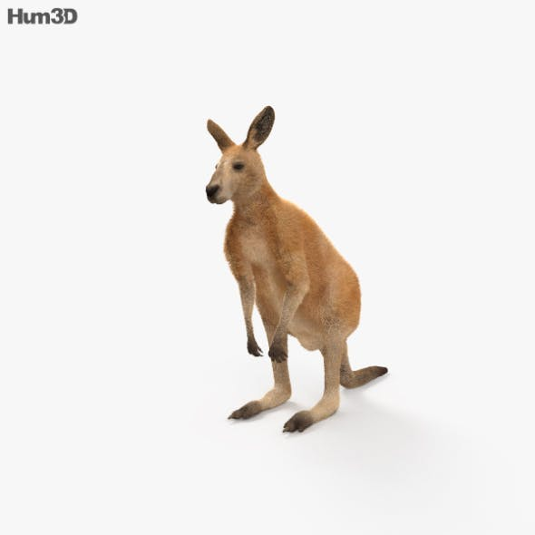 Kangaroo HD - 3DOcean Item for Sale