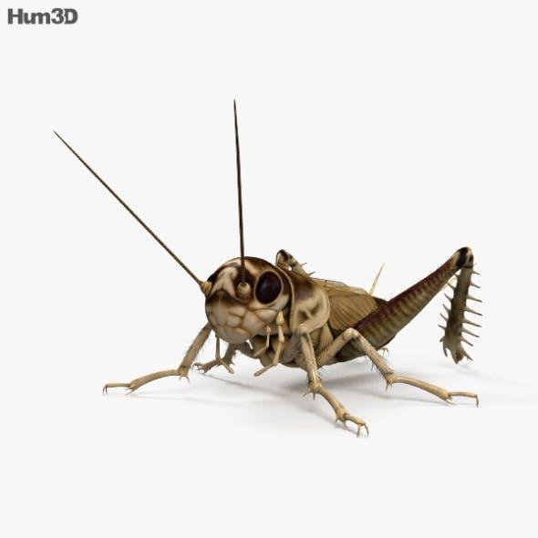Cricket HD - 3DOcean Item for Sale