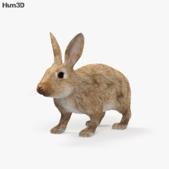 Common Rabbit HD - 3DOcean Item for Sale