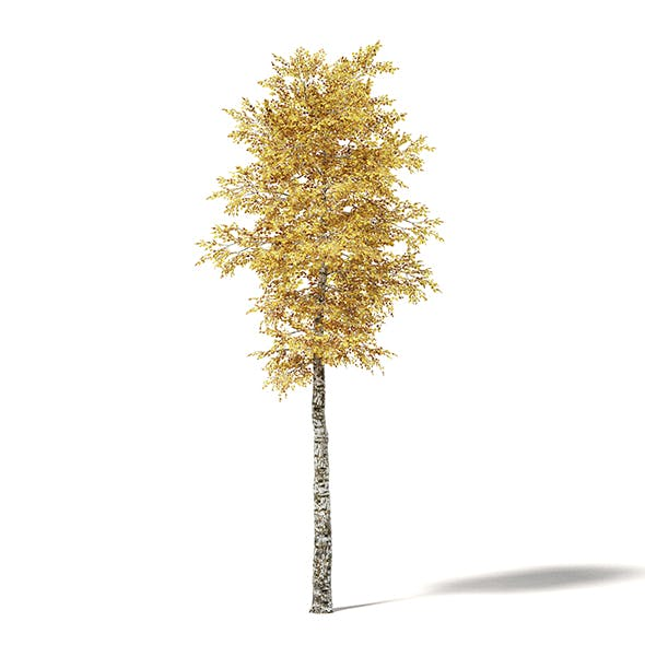 Silver Birch 3D Model 7m - 3DOcean Item for Sale