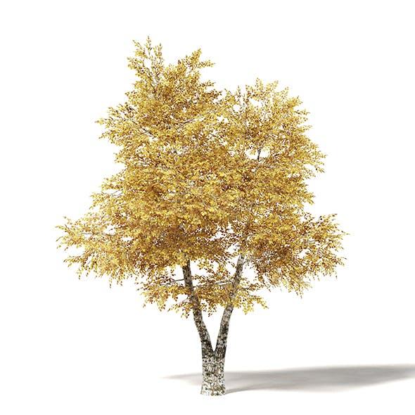Silver Birch 3D Model 5.8m