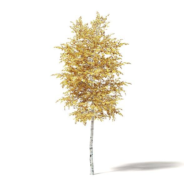 Silver Birch 3D Model 3.3m