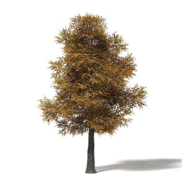 Field Maple 3D Model 12m - 3DOcean Item for Sale