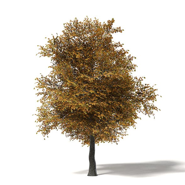 Field Maple 3D Model 8.5m - 3DOcean Item for Sale