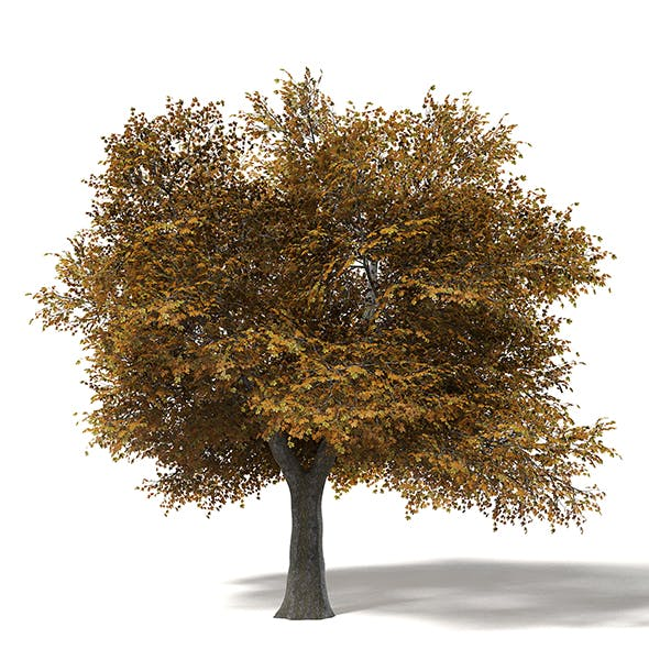 Field Maple 3D Model 10m