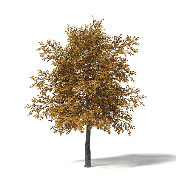 Field Maple 3D Model 5.4m - 3DOcean Item for Sale