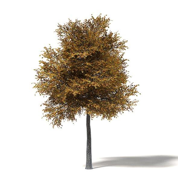 Field Maple 3D Model 9m - 3DOcean Item for Sale