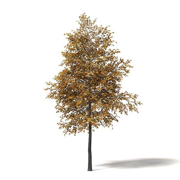 Field Maple 3D Model 4.7m