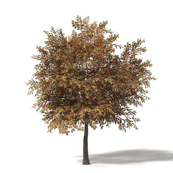 Mountain Ash 3D Model 6.8m