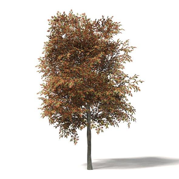 Mountain Ash 3D Model 7.7m