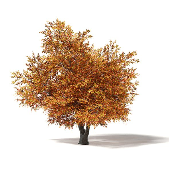 Common Oak 3D Model 8.7m