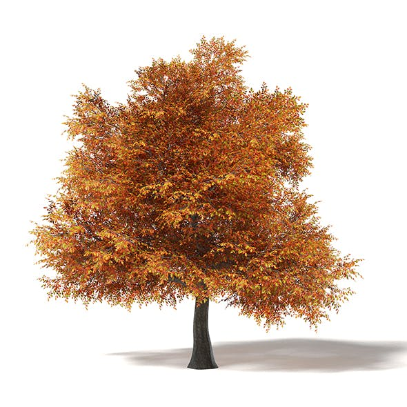 Common Oak 3D Model 16.6m