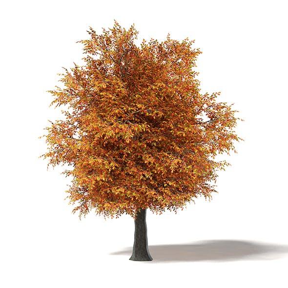 Common Oak 3D Model 7m