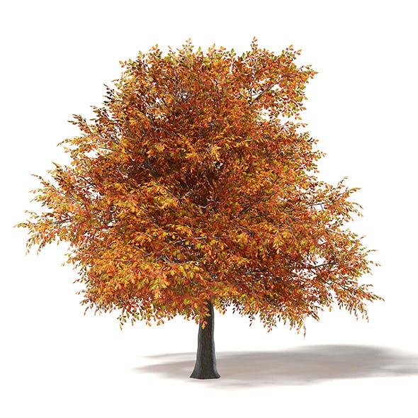 Common Oak 3D Model 6m - 3DOcean Item for Sale