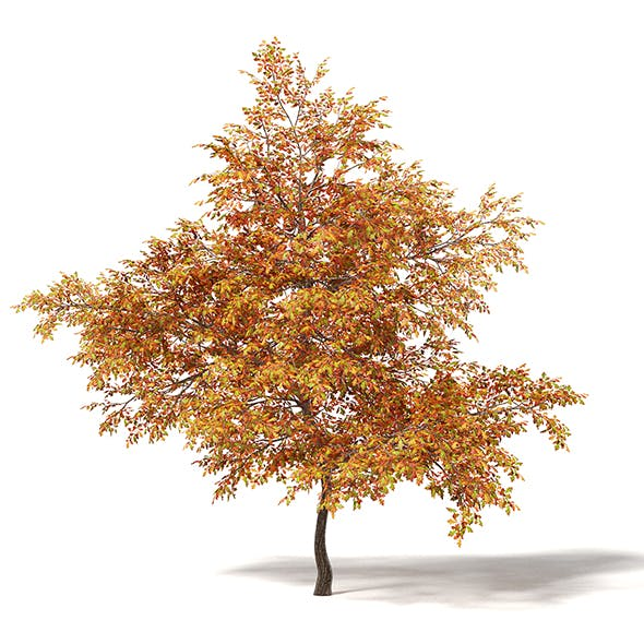 Common Oak 3D Model 7.3m