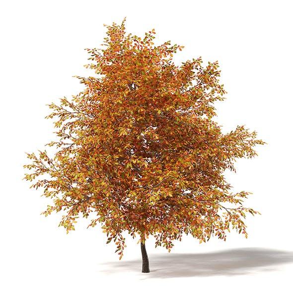 Common Oak 3D Model 6.4m