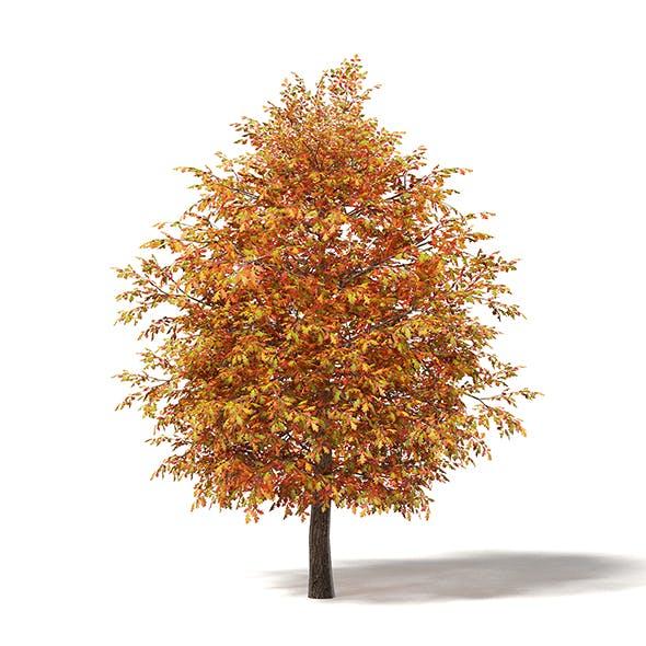 Common Oak 3D Model 5.3m - 3DOcean Item for Sale