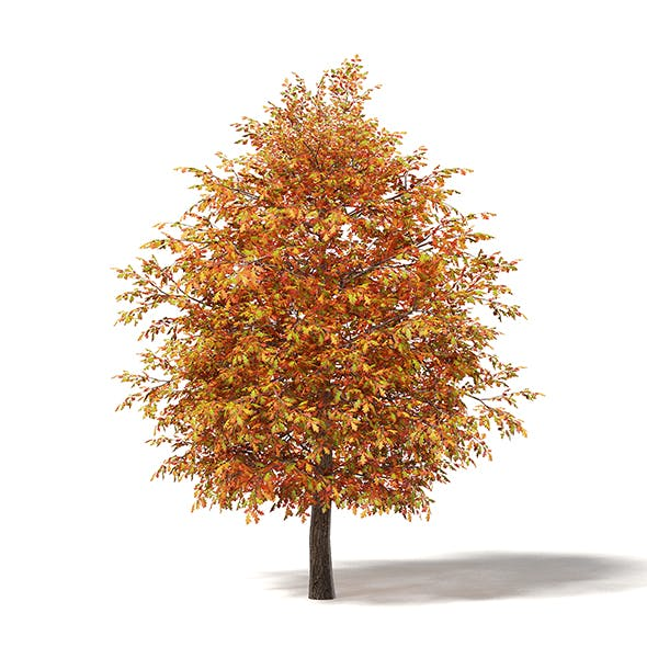 Common Oak 3D Model 5.3m