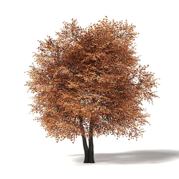 Sugar Maple 3D Model 8.8m - 3DOcean Item for Sale