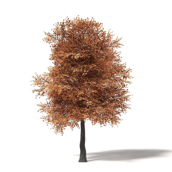 Sugar Maple 3D Model 10m