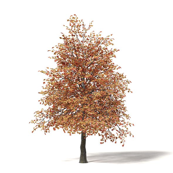 Sugar Maple 3D Model 5.5m