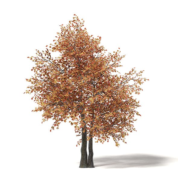 Sugar Maple 3D Model 6.6m - 3DOcean Item for Sale