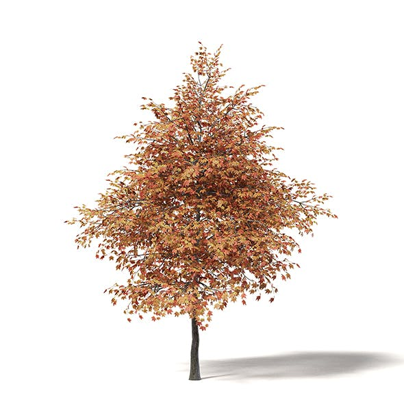 Sugar Maple 3D Model 5.8m - 3DOcean Item for Sale