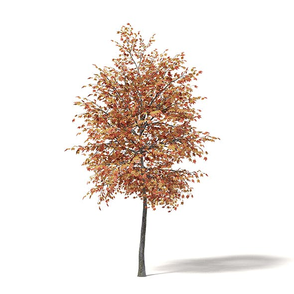 Sugar Maple 3D Model 3.6m