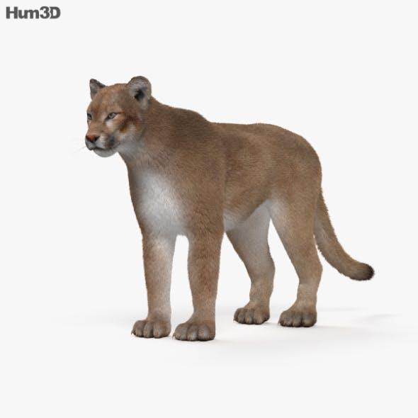 Cougar HD - 3DOcean Item for Sale