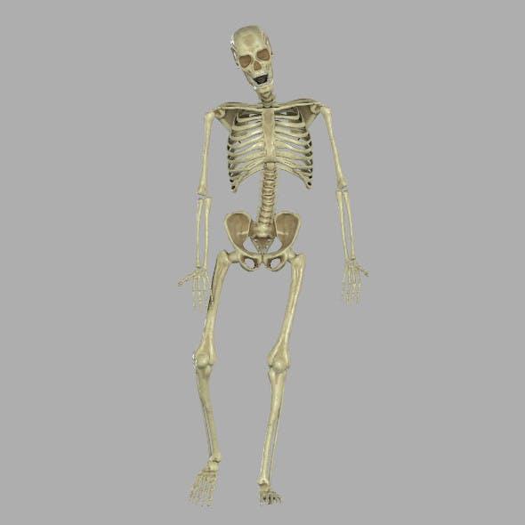 Skeleton - 3DOcean Item for Sale