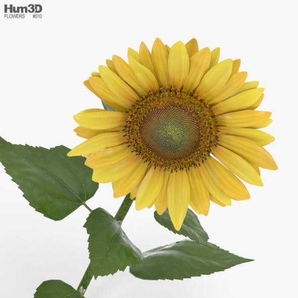 Sunflower - 3DOcean Item for Sale