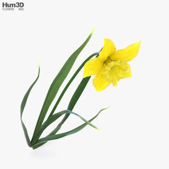 Daffodil - 3DOcean Item for Sale