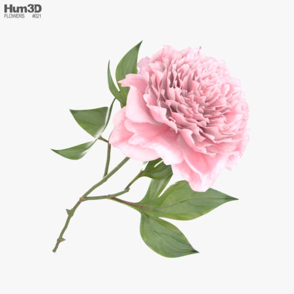 Peony - 3DOcean Item for Sale