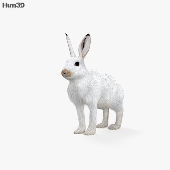Arctic Hare HD - 3DOcean Item for Sale