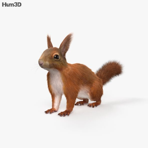 American Red Squirrel HD - 3DOcean Item for Sale