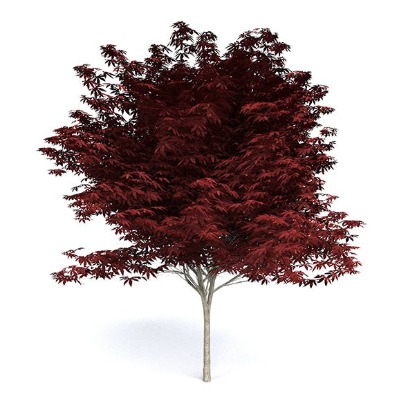 Red Japanese Maple - 3DOcean Item for Sale