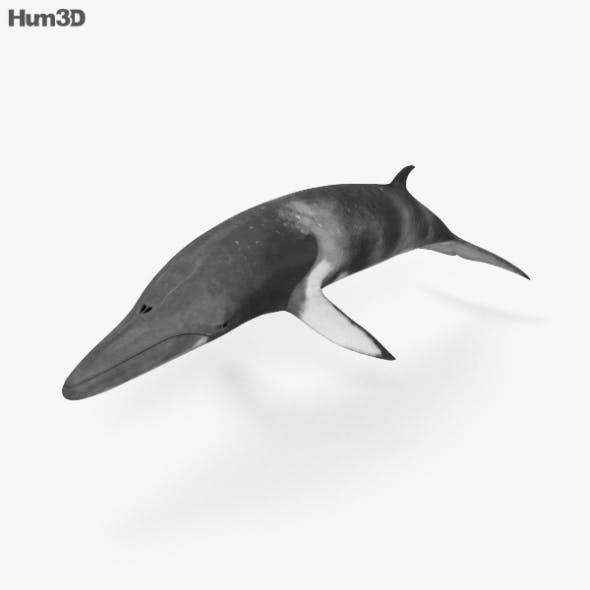 Minke Whale HD - 3DOcean Item for Sale
