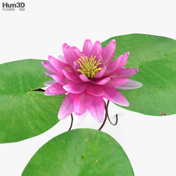Water Lily - 3DOcean Item for Sale