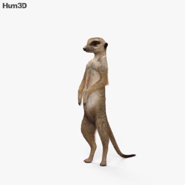 Meerkat HD - 3DOcean Item for Sale