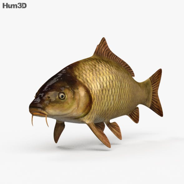 Carp HD - 3DOcean Item for Sale