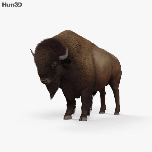 American Bison (Buffalo) HD