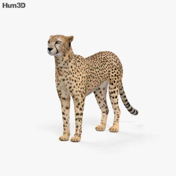 Cheetah HD - 3DOcean Item for Sale