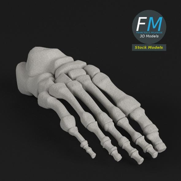Anatomy - Human Foot bones