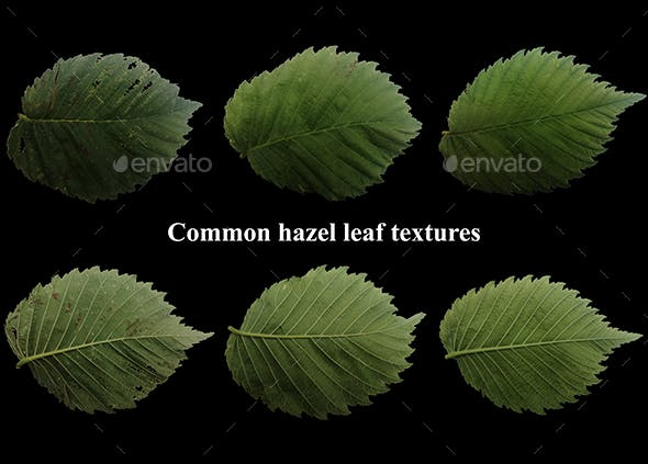 Natural common hezel leaf textures pack of 3 front and back - 3DOcean Item for Sale