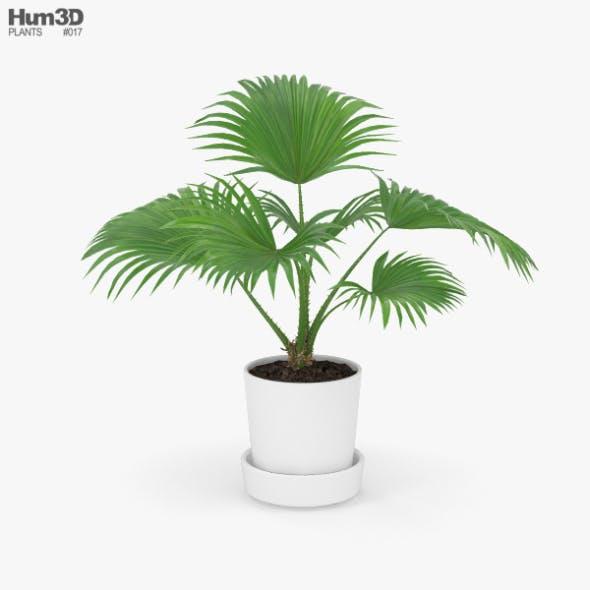 Livistona Palm - 3DOcean Item for Sale